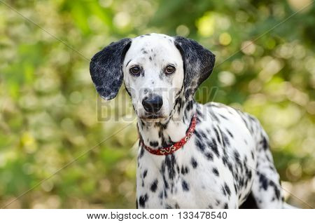 Dalmatian dog is a curious Dalmation in nature looking at you with his big beautiful eyes.