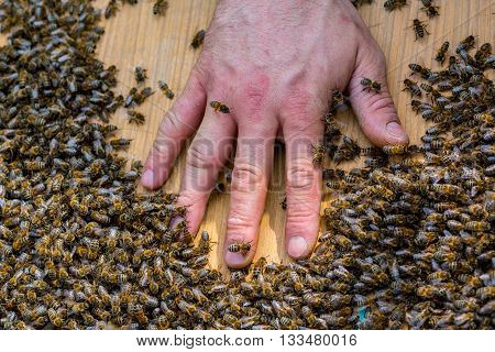 Close view on the hand of beekeeper in the swarm of bees on the beehive