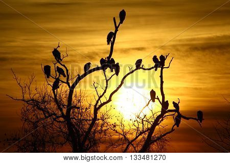 Vultures perched in a dead tree at Sunset