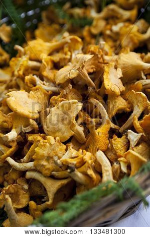 Close Up Of Girolle Mushrooms