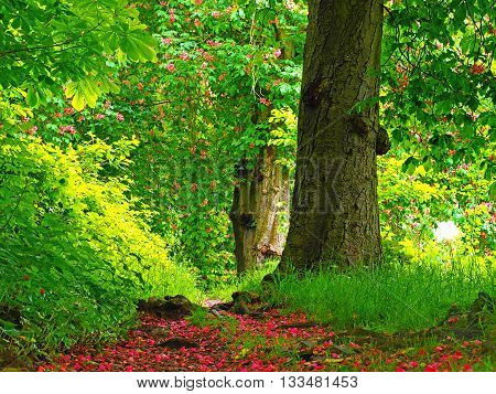 woodland trail with Horse Chestnut trees and pink blossom