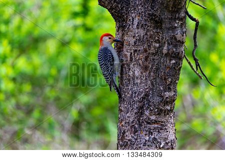 Red Breasted woodpecker feeding in a forest in Quebec