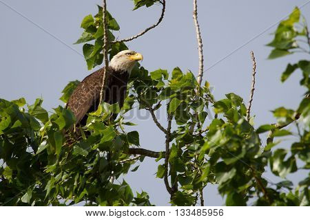 This is a Bald Eagle perched in a tree on a clear sunny day.  Bald eagles are birds of pray.  They live in North America and some of northern Mexico.