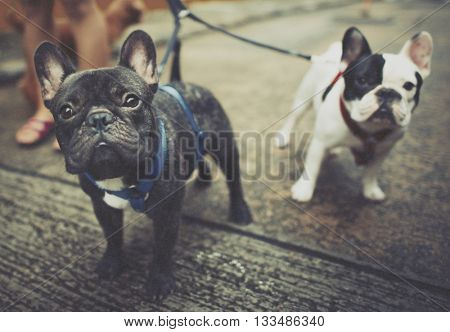 Baby Doggy French Bulldog Cute Concept