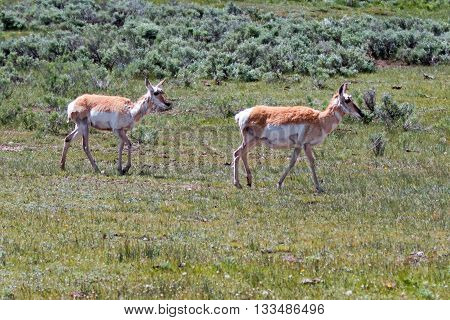 Two Female Pronghorn Antelope in the Lamar Valley of Yellowstone National Park Wyoming USA