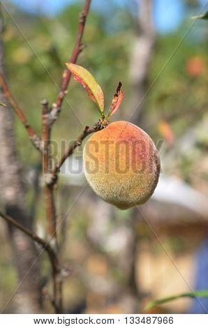 Prunus mume in garden, Chiang Mai, Thailand