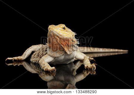 Bearded Dragon Llizard Lying on Mirror Isolated on Black Background