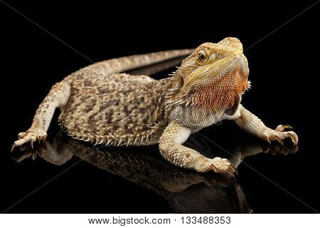 Bearded Dragon Llizard Lying on Mirror Isolated on Black Background