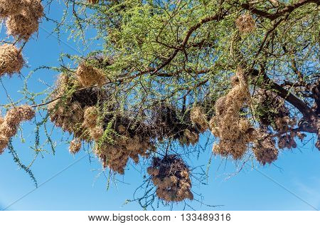 Marabou nests on the tree in Kenya Africa