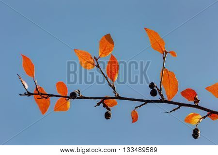 autumn branch aronia with berries against the sky