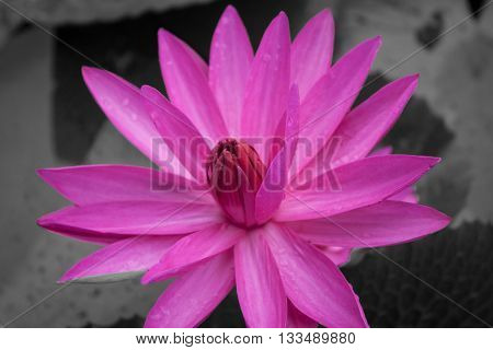 Pink lotus blossoms blooming on black and white background, stock photo
