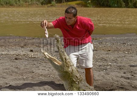 COSTA RICA-OCTOBER 7 2011: A young man feeding a crocodile at the shore of a river in Costa Rica