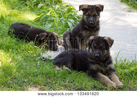 Three Puppies German Shepherd lying in green grass