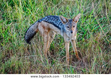 Black backed Jackal in Masai Mara Grand reserve Kenya