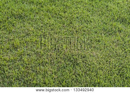 background lawn green in park beautiful fresh