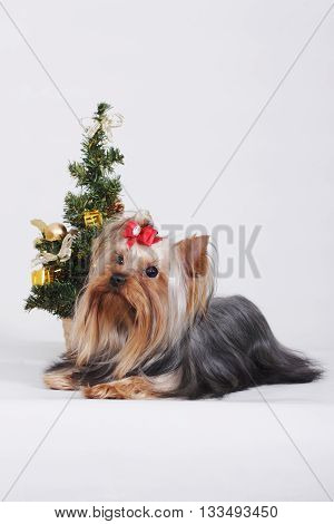 Decorative dog Yorkshire Terrier lying next to the Christmas tree on gray background