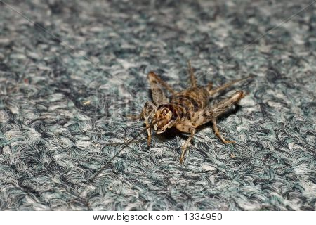 Grasshopper On Carpet