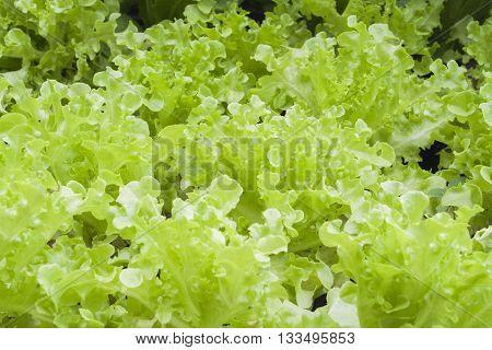 background nature vegetable is lettuce healthy in garden