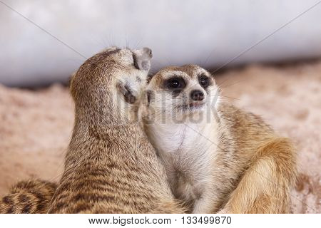 Suricate or meerkat (Suricata suricatta) It is looks around