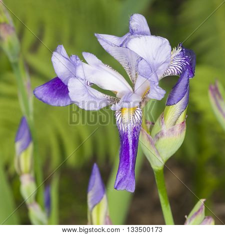 Iris Germanica purple flower and bud on stem at flowerbed closeup selective focus shalow DOF