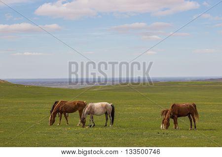 Horses in the steppes of Kazakhstan near Almaty Malaysary