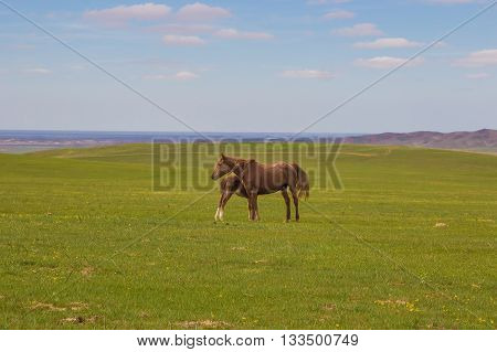 Horse with a foal in the steppes of Kazakhstan near Almaty Malaysary
