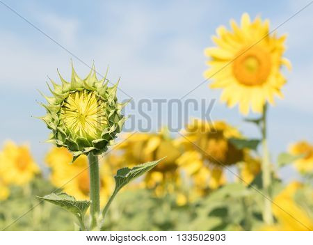 Sunflower Growth And Blooming In Field