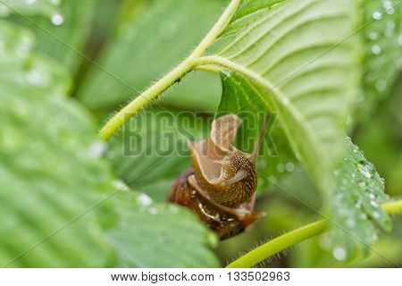 Large Grape Snail Is Hiding From The Rain In The Leaves