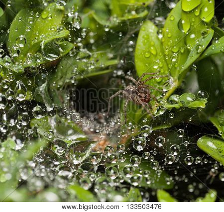 Macro of spider on bush after rain and its nest behind it