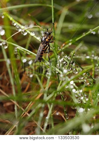 Low angle side view of assassin fly (Asilidae) sitting on grass in rain drops