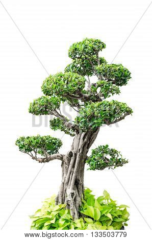 Beautiful Bonsai tree isolated over white background