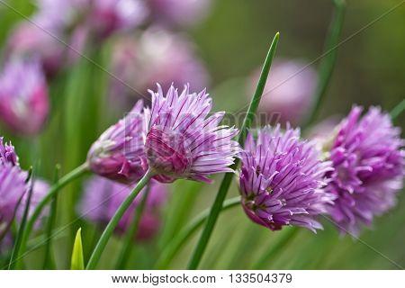 Flowering  Perennial Plants Of The Siberian Onion