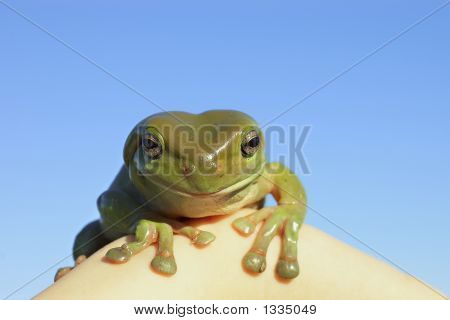 Green Tree Frog Looking At Camera