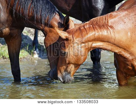 Herd of horses drink water in a lake