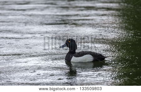 A lone duck floating in the rain