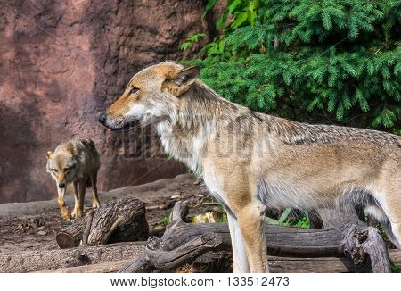 Young wolf guards territory of his pack