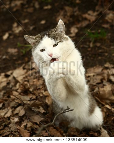 stray siberian cat hunt on the rural country background