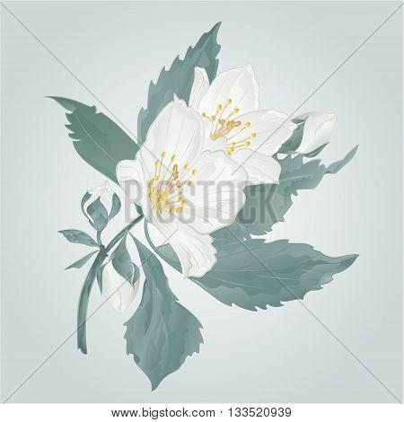 Twig jasmine flower and buds spring flower vector illustration