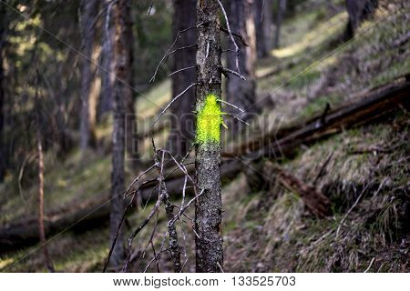 Close Up of Small Dead Coniferous Evergreen Tree with Fluorescent Green-Yellow Spray Paint Marker on Trunk in Forest with Old Growth - Forest Management Concept Image