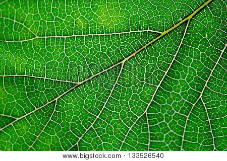 Texture background of green leaf and vein nature