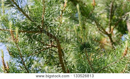 Branch of Pine Tree with needles and Pine Cone.