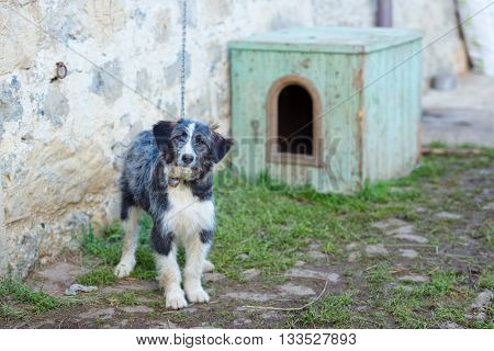 Sheepdog Bergamasco tied near his kennel in the farm
