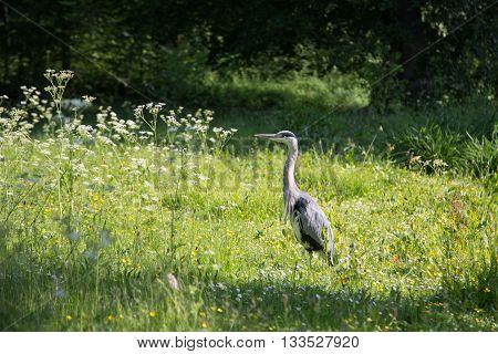 Grey Heron in Frederiksberg Park in Denmark