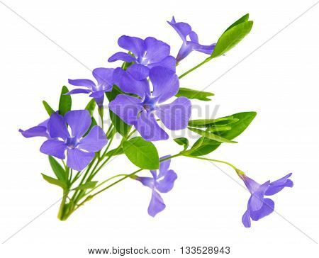 periwinkle blue flower isolated on white background