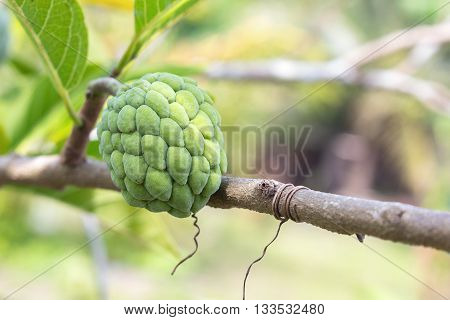 Custard apple plant. Custard apple raw agriculture on trees. ( select focus front Custard apple and soft-focus background)