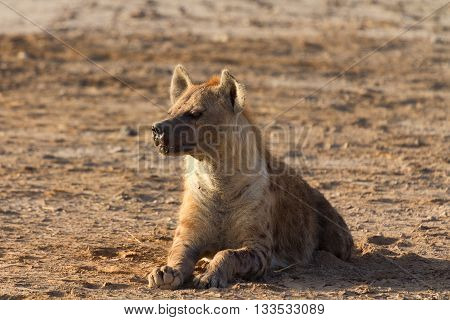 Young hyena laying on the ground in Masai Mara Kenya