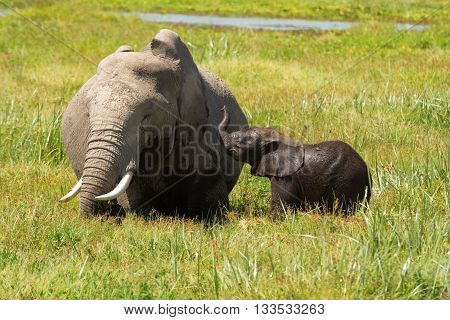 Mother and her baby elephants in a pond. Baby playing with the mother. Shot at Amboseli national park Kenya