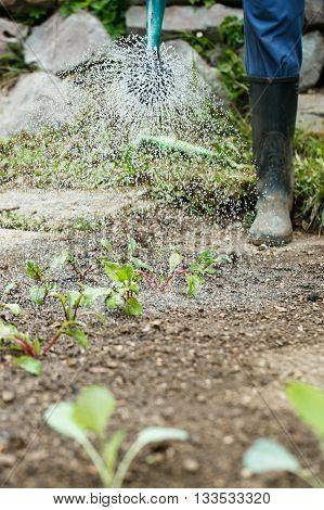 Gardener watering and fertilizing freshly planted seedlings in garden bed for growth boost. Organic gardening healthy food nutrition and diet self-supply and housework concept.