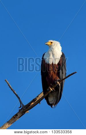 Fish Eagle staying on a tree in Naivasha Lake Kenya. Vertical shot side view.