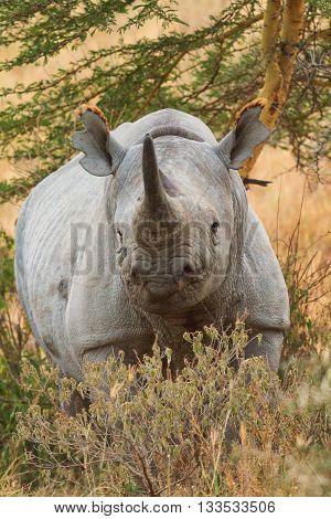 Portait of black rhino in Nakuru Park in Kenya during the dry season.